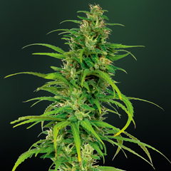 Little Cheese Auto (Barney's Farm), 5 feminisierte Samen