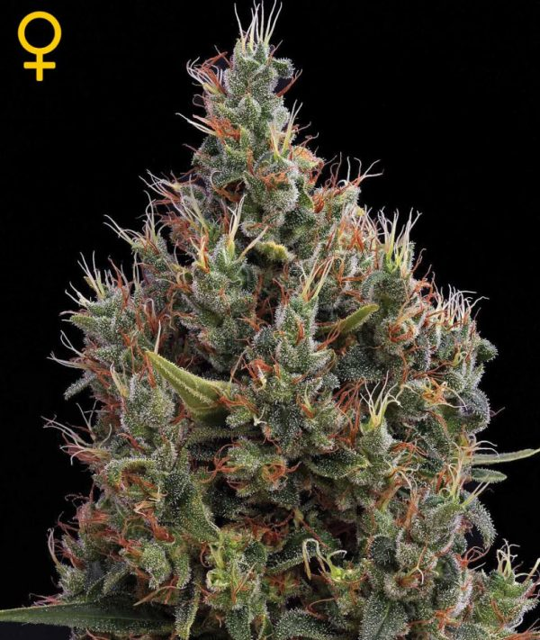 Big Bang Auto (Green House Seeds), automatic Samen