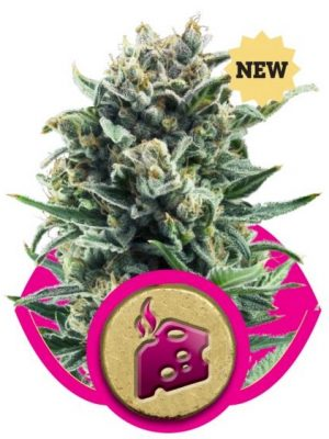 Blue Cheese (Royal Queen Seeds), 3 feminisierte Samen