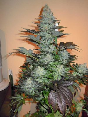 Bluehell (Medical Seeds) feminisierte Samen