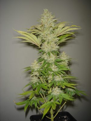 Bubblicious (Resin Seeds) feminisiert