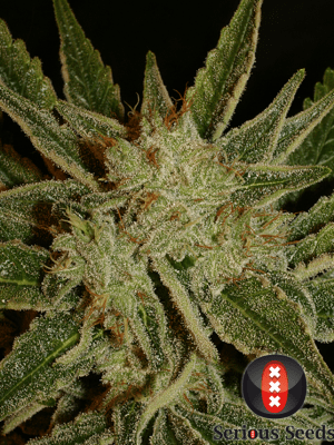 Bubble Gum (Serious Seeds) feminisiert oder regular
