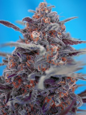 Devil Cream (Sweet Seeds), autoflowering Samen