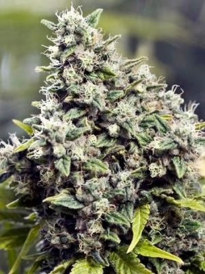 Grapefruit (Female Seeds) 4 feminisierte Samen