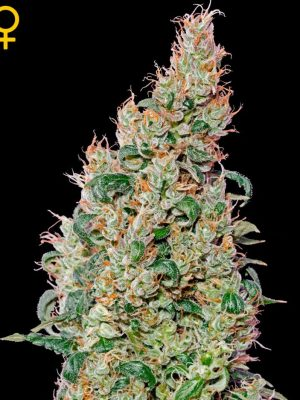 Green-O-Matic (Green House Seeds), autofeminisierte Samen