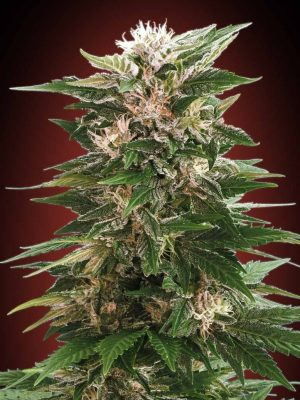 Kaya 47 (Advanced Seeds), feminisierte Samen