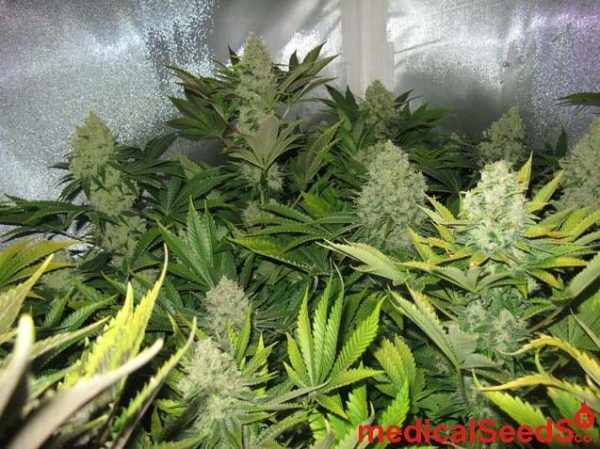 No Name (Medical Seeds) feminisierte Samen
