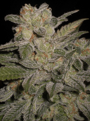Northern Lights Automatic (Sensi Seeds), 5 autoflowering Samen