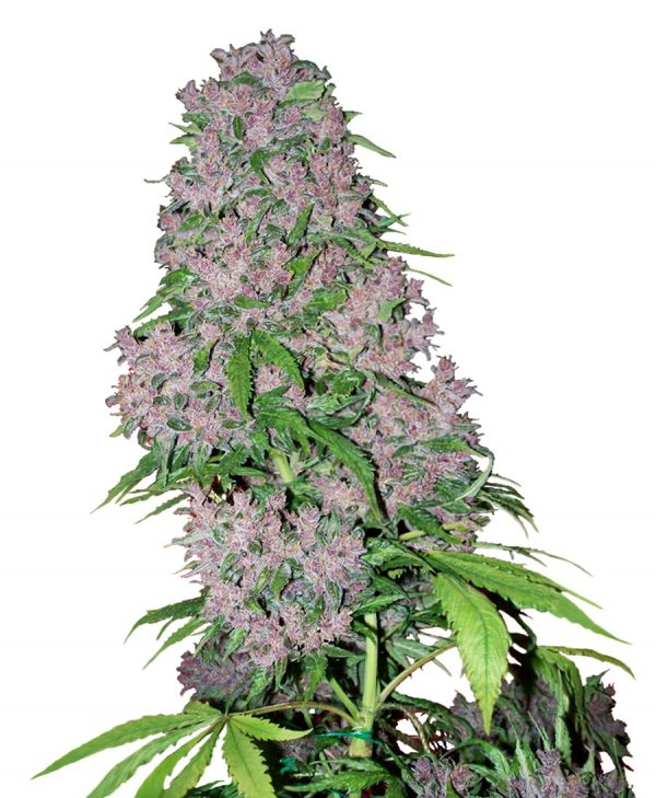 Purple Bud (White Label), 3 oder 5 feminisierte Samen