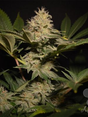 Strawberry Kush (Anesia Seeds), 3 feminisierte Samen