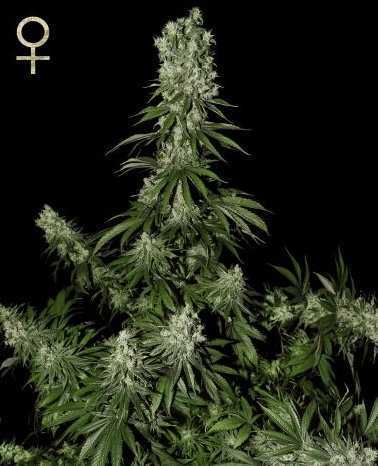 White Strawberry Skunk (Strain Hunters), feminisierte Samen