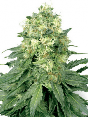 White Widow (White Label), 5 feminisierte Samen