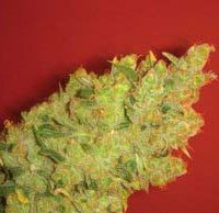 Jack La Mota (Medical Seeds) feminisierte Samen