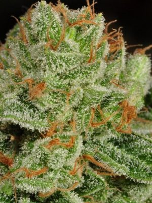 Medical Grapefruit (Cannamed), feminisierte Samen