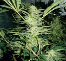 White Widow (Medical Seeds) feminisierte Samen