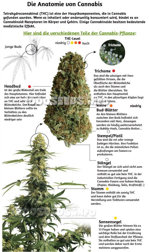 Cannabis Inhaltsstoffe
