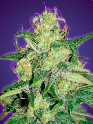 Auto Amnesia von Advanced Seeds