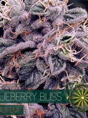 BlueBerry Bliss Auto von Vision Seeds