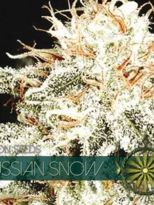 Russian Snow von Vision Seeds