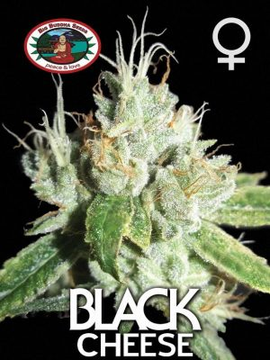 Black Cheese von Big Buddha Seeds