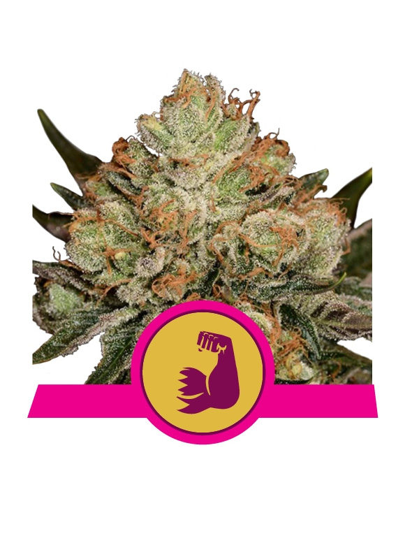 HulkBerry-Royal-Queen-Seeds