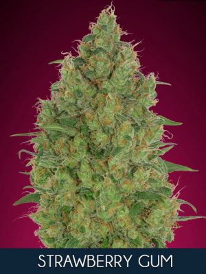 Strawberry Gum von Advanced Seeds