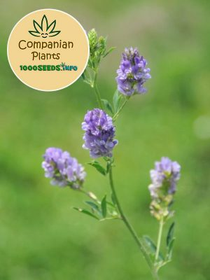 companion-plants-Alfalfa