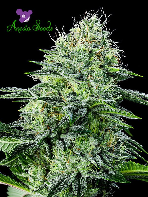Auto Strawberry Banana von Anesia Seeds