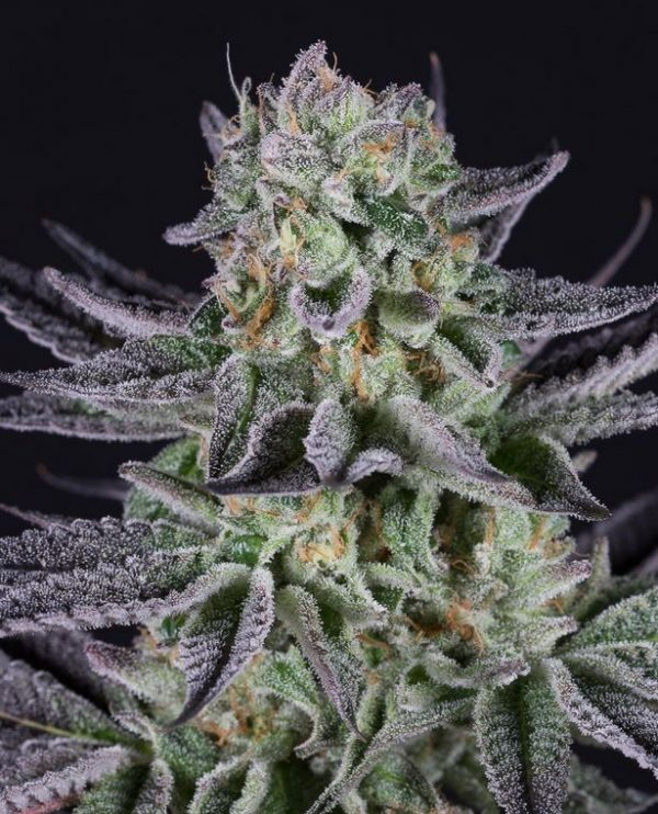 Blueberry Cookies von Dinafem