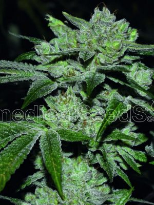 Sour Glue von medical Seeds