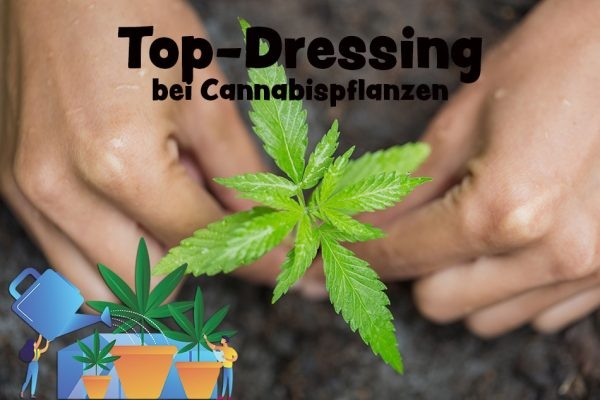 Top-Dressing Cannabispflanzen