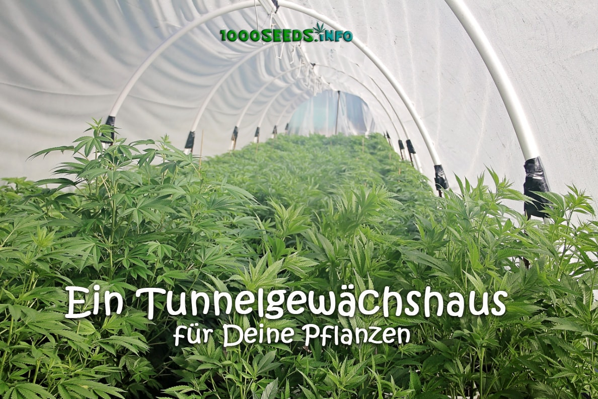 Greenhouse-Hoop-House-Cannabis