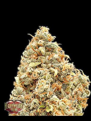Monster Profit von Heavyweight Seeds