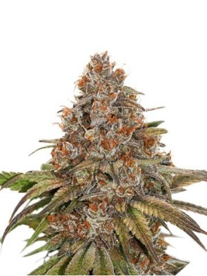 Blackberry Gum von Seedstockers