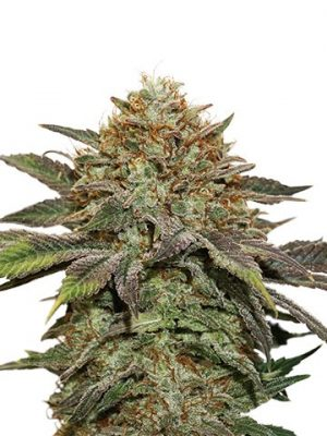 Fruit Cake von Seedstockers