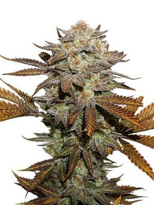 Sicky Fingers von Seedstockers