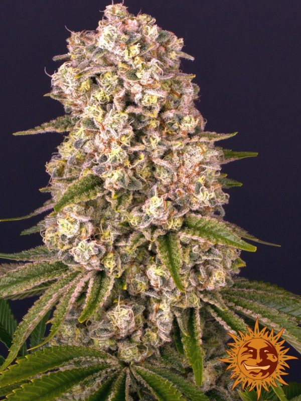 Tropicanna Banana von Barneys Farm