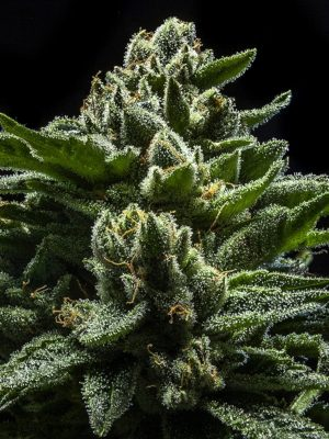 DO-G von Ripper Seeds