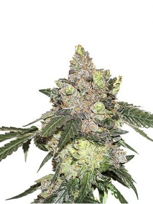 Girl Scout Cookies von Seedsstockers
