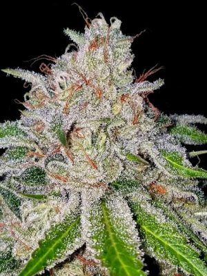 Cherry 18 von DNA Genetics