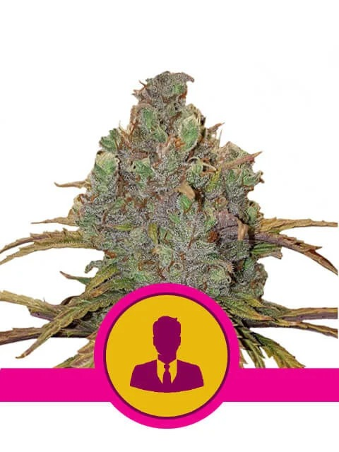 El Patron von Royal Queen Seeds