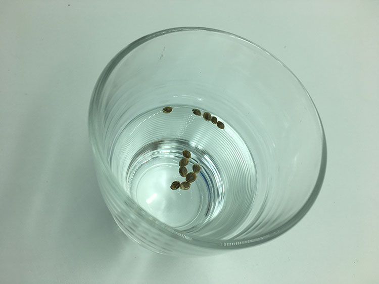 Cannabis Seeds in Water