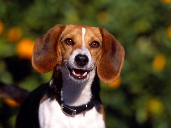 Unique Dog Names Girl Beagle - List With Meanings
