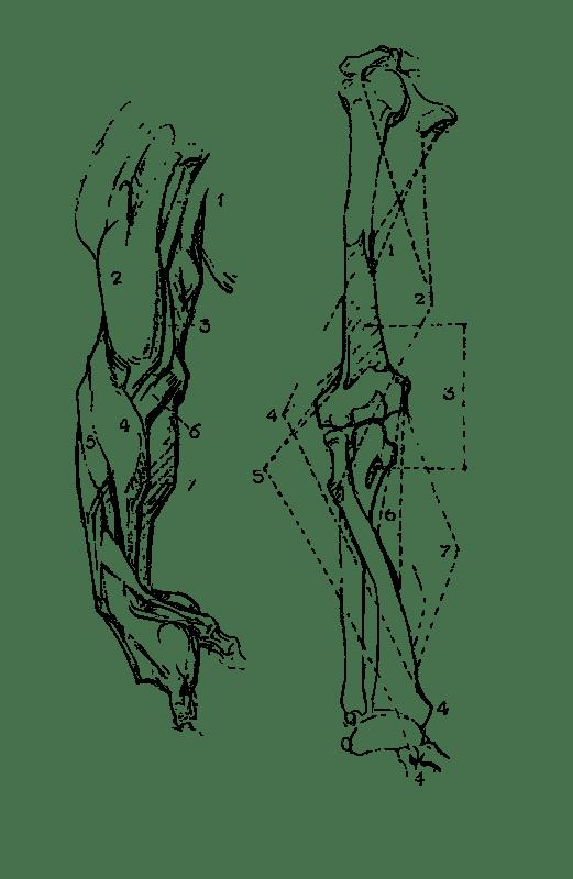 Free Clipart: Constructive Anatomy Drawing Book 81 | rejon
