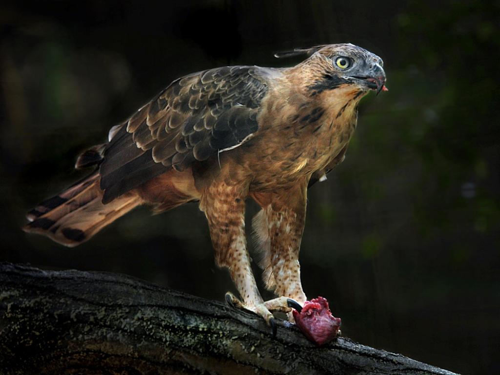 Elang Jawa Burung Endemik Pulau Jawa yang Terancam Punah