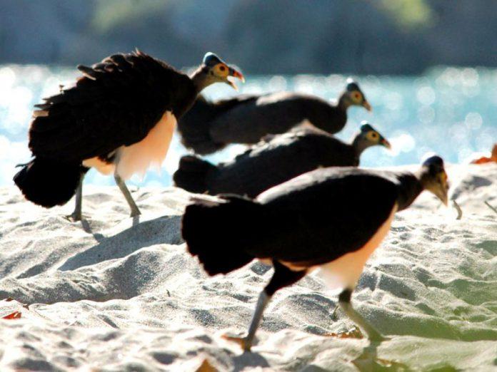 Maleo Burung Endemik Sulawesi yang Langka