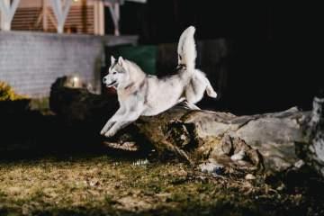 husky-saut