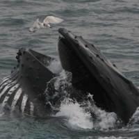 Whale Watching auf der Irischen See