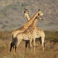 Drei erstaunliche Fakten über Giraffen von Thanda Safari
