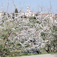 Zur Kirschblüte an die Adria